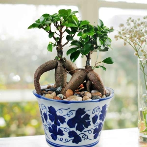 9 Inches height Ginseng Ficus Bonsai