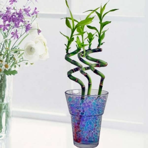 Chinese Lucky Curly Bamboo indoor Plants in crystal soil.