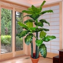 Dieffenbachia Plants 6 Feet Height ( Artificial Plant ) Delivery