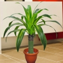 Artificial Dracaena Plant 108 cm Height