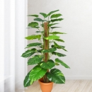 Artificial Money Plant 4 Feet
