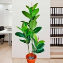 Artificial Rubber Tree 138cm Height