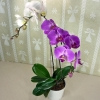 2-colored Live Phalaenopsis Plants