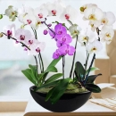 Live Phalaenopsis Orchids Mixed Color