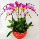 Live Phalaenopsis Orchids Mixed Color Potted Plant